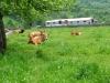 vacas-prado-amable